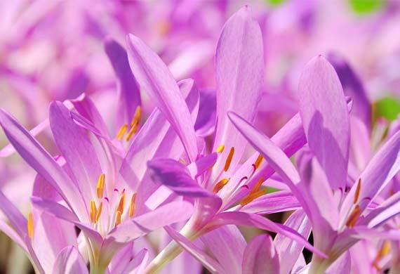 زعفران زینتی یک گیاه خطرناک برای سگها